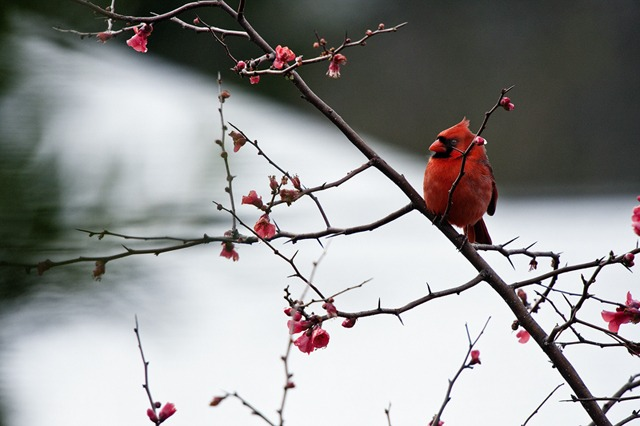 Photo Composition Basics - Cardinal on a Branch in Winter