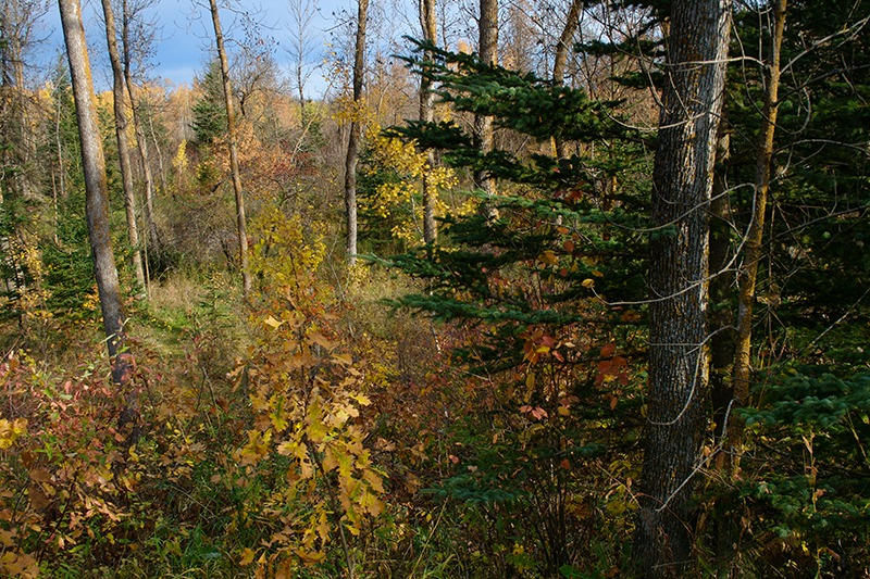 Sunlit Boreal Forest - Beausejour MB
